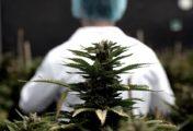Jujuy calcula iniciar en septiembre la venta de aceite de cannabis en farmacias