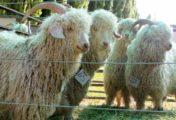 Se realizarála feriade intercambio y venta de reproductoresovinos y caprinos-artesanas y velloneros
