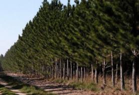 Nuevos desembolsos para incentivos forestales
